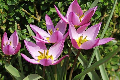 wild tulips  tulips  dwarf tulips