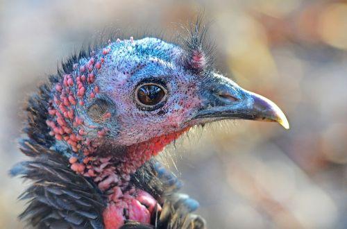 wild turkey turkey nature