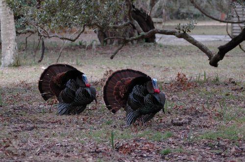 wild turkeys rural wildlife