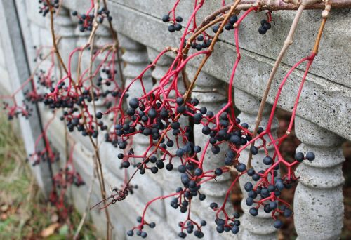 wild wine fruit black berries