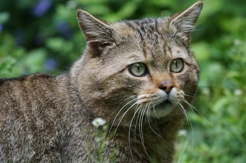 wildcat forest cat predator