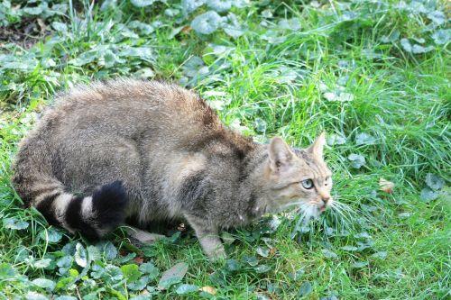 wildcat animal mammal