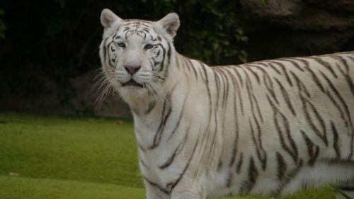 wildcat noble tiger