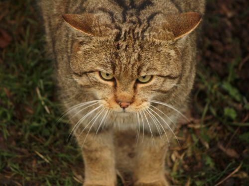 wildcat cat animal