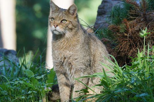 wildcat nature wilderness