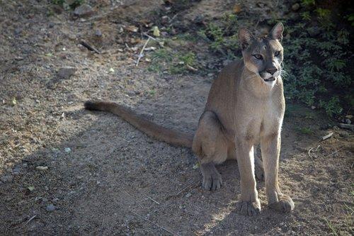 wildcat  wild  big cat