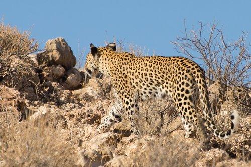 wildcat  kalahari  big cat