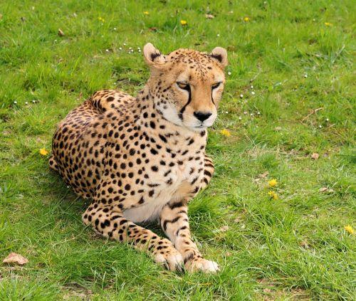 wildcat large wild cat cheetah