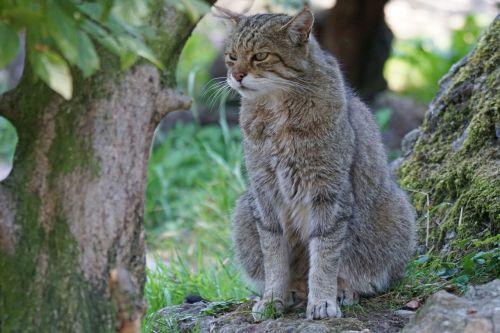wildcat wildlife park predator