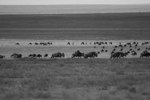 wildebeest migration arrival