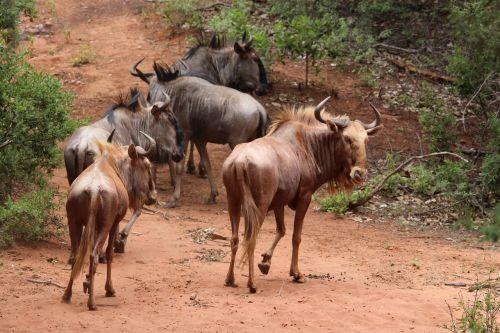wildebeest gold herd