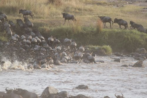wildebeest migration great migration wildebeest