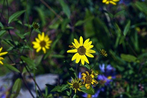 wilderness sunflowers  yellow  wildflowers