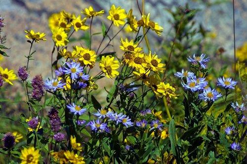 wilderness wildflowers  yellow  wildflowers