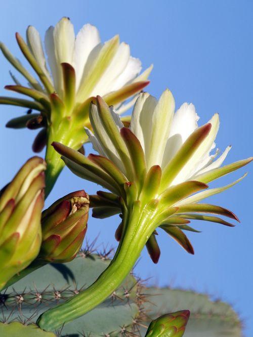 prikley pear pear flower wildflower