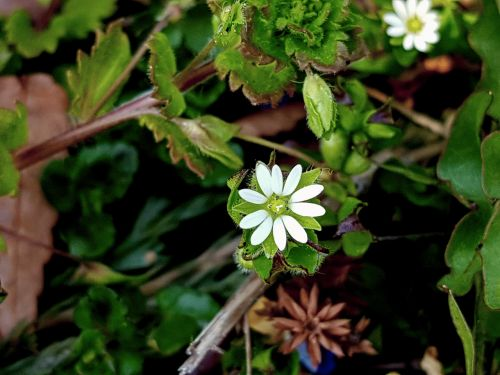 wildflower chickweed iron by flame