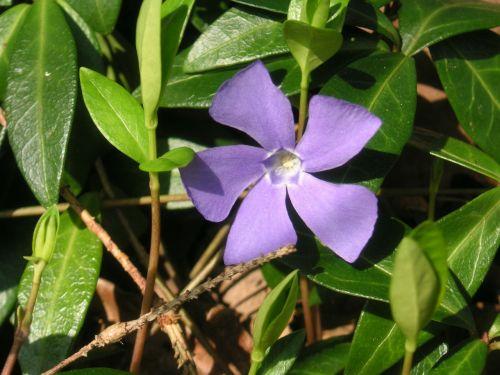 wildflower flower periwinkle flower