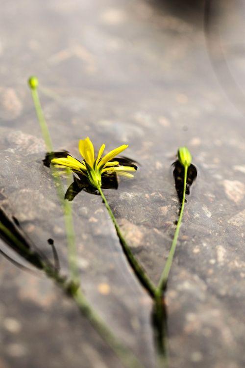 wildflower,geltona,gėlė,vasara,gamta,peizažas,vanduo