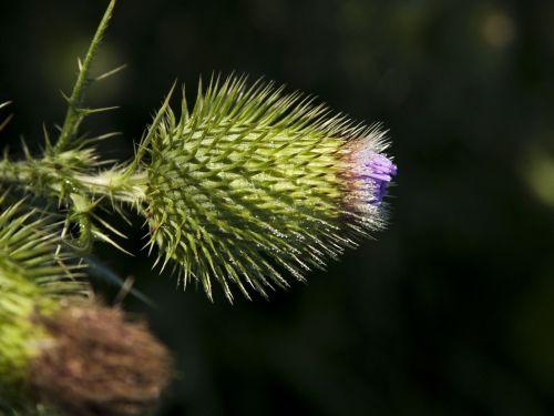 wildflower flower thistle