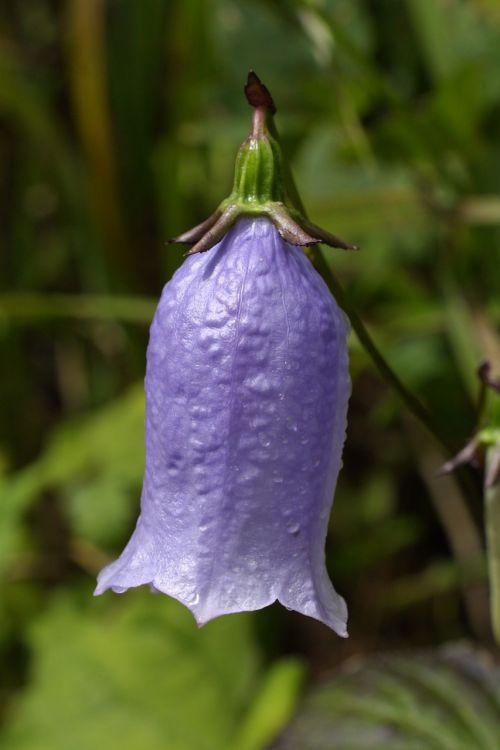 wildflower jiri campanula punctata