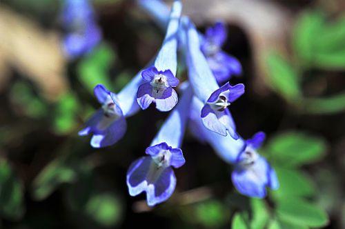 wildflower jiri close-up