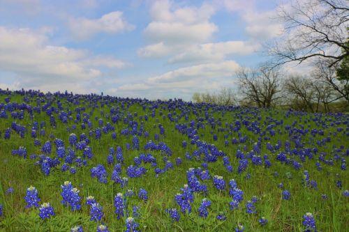 wildflowers bluebonnets texas