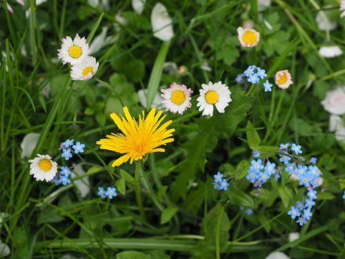 wildflowers meadow dandelion