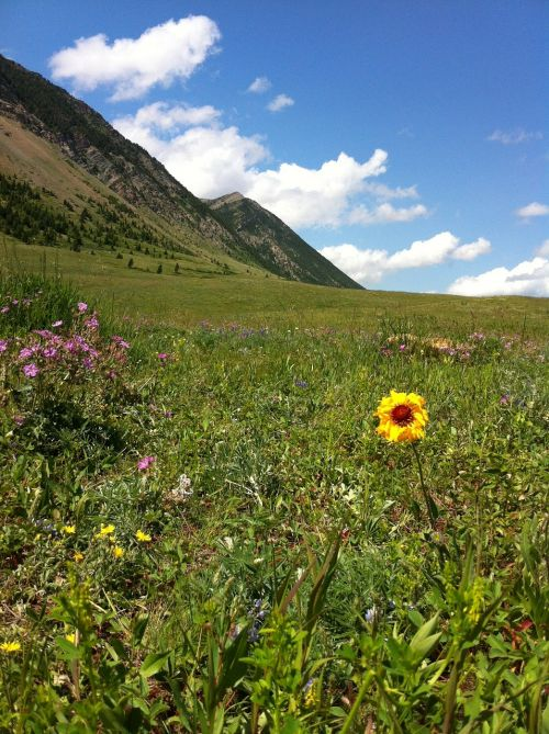 wildflowers mountains glorious wildflower