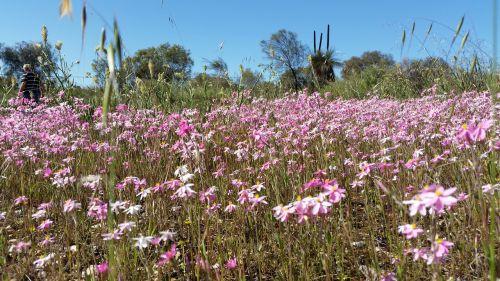 wildflowers daisies australian flowers