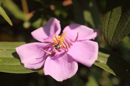 wildflowers  violet  plant