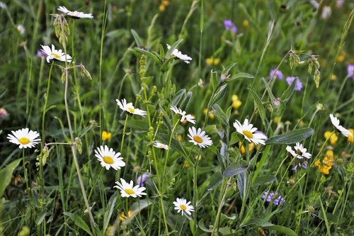 wildflowers  camomile  meadow