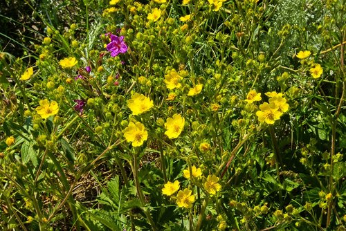 wildflowers on lemhi pass  wildflowers  wild