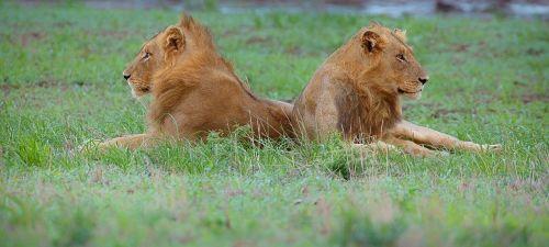 wildlife lion african