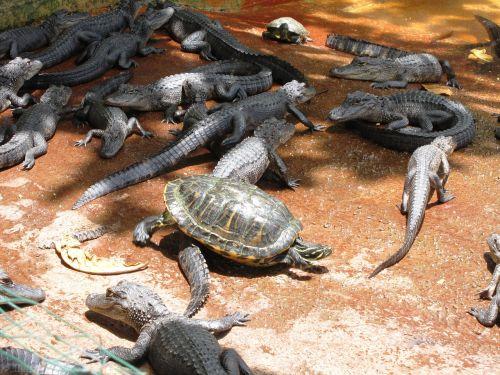 wildlife alligator crocodile