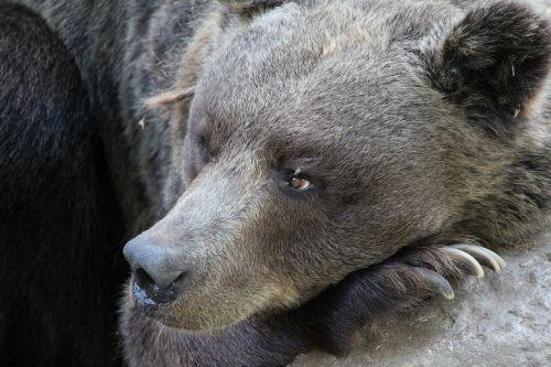 bear wildlife brown