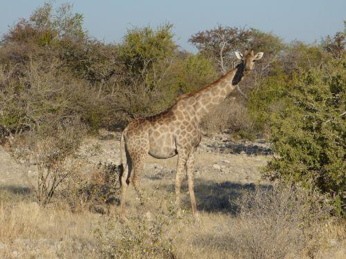 wildlife giraffe namibia