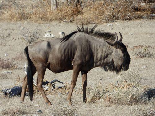 wildlife wildebeest namibia