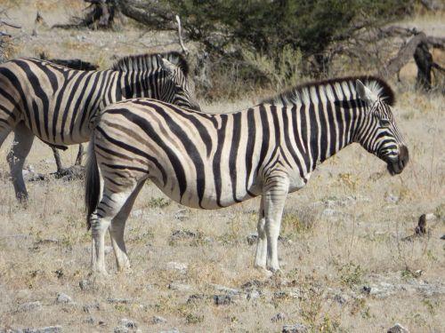 wildlife zebras namibia