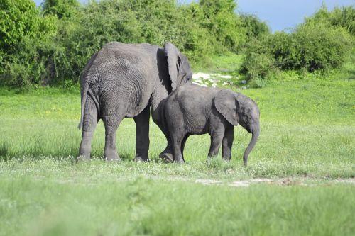 wildlife elephant botswana