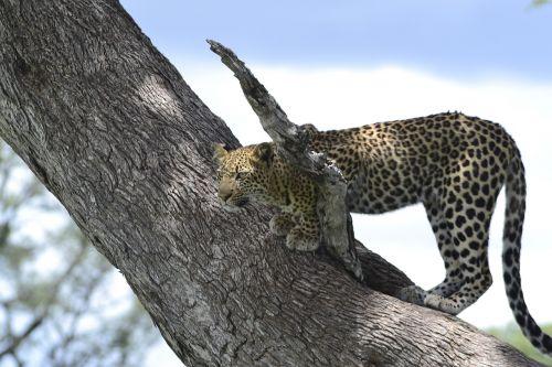 wildlife leopard botswana