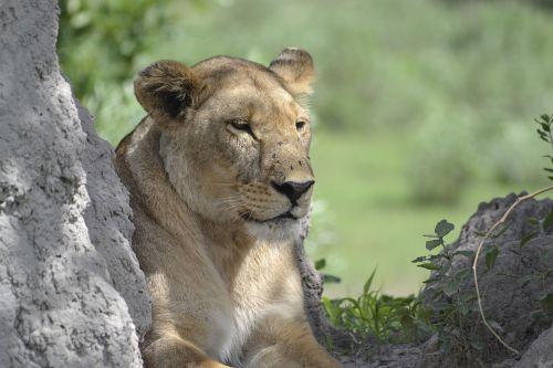 wildlife lion botswana