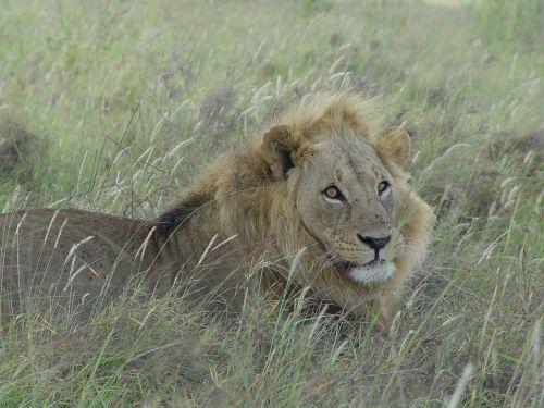 wildlife lion cat