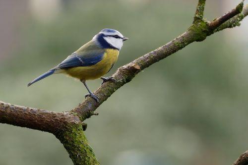 laukinė gamta,paukščiai,gamta,gyvūnų karalystė,lauke,mėlynas dantis