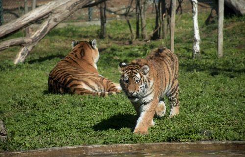 wildlife cat animalia