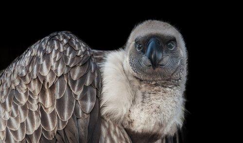 wildlife  bird  vulture