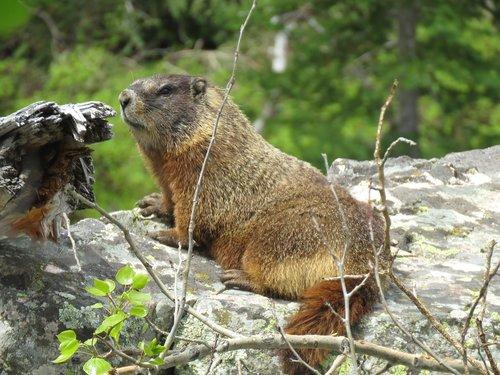 wildlife  rodent  marmots