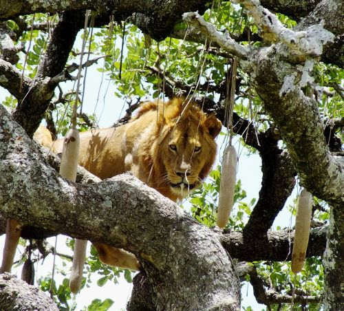 wildlife lion on tree animal