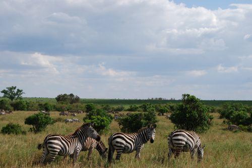 Wildlife In Masai Mara Zebra(Heard)