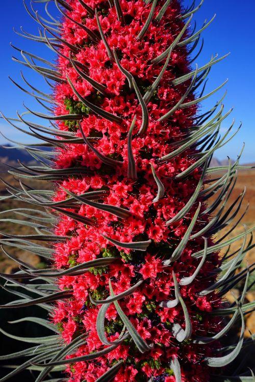 wildpretii bugloss tajinaste rojo blossom