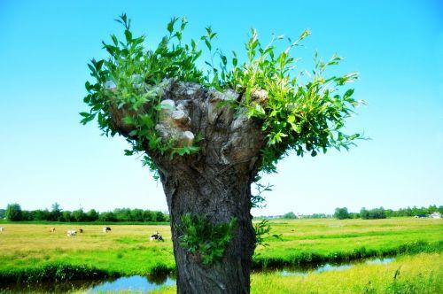 willow pollard willow tree